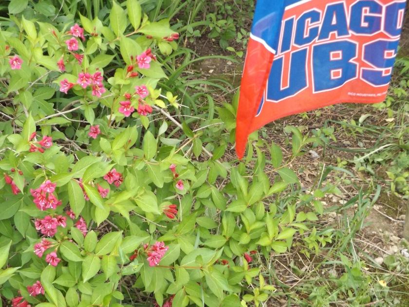 cubsflag